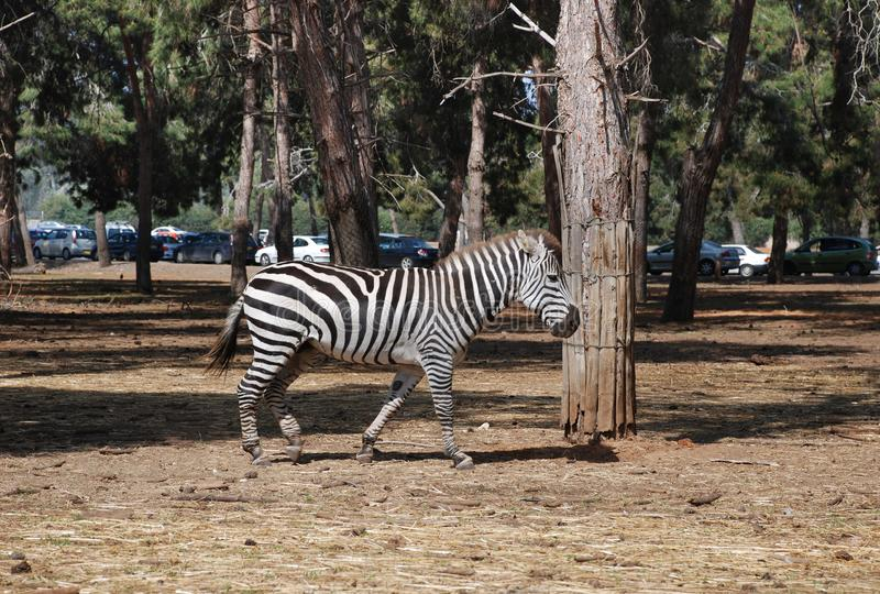 Με ραβδώσεις που οργανώνεται αφρικανικό στο πάρκο ζωολογικών κήπων στοκ εικόνα