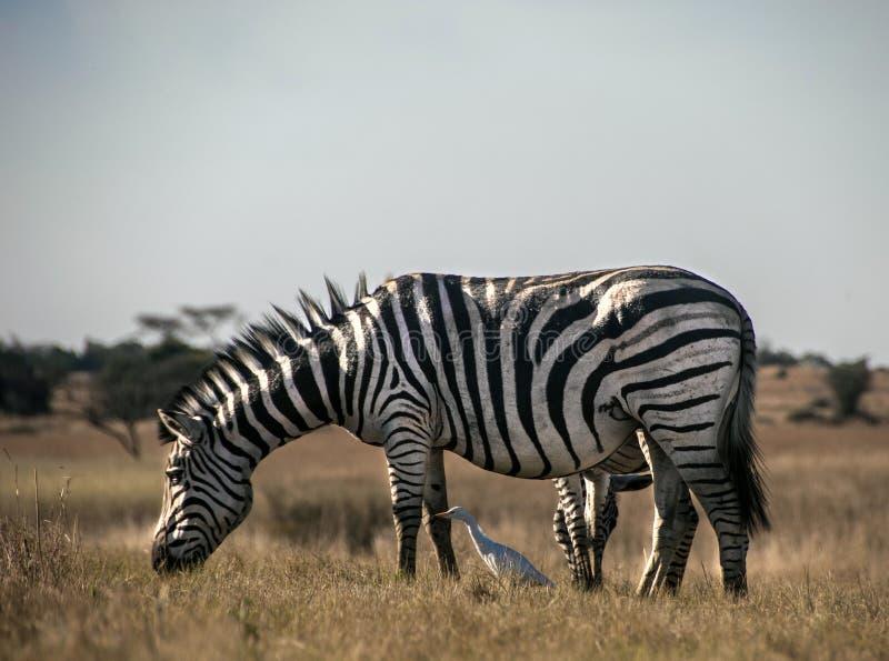 Με ραβδώσεις σε ένα πάρκο στη Ζιμπάπουε στοκ εικόνα με δικαίωμα ελεύθερης χρήσης
