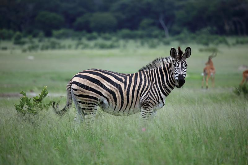 Με ραβδώσεις στη Ζιμπάμπουε, εθνικό πάρκο Hwange με την αντιλόπη Impala στοκ εικόνες