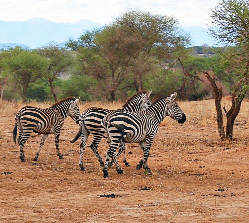 Με ραβδώσεις στο σαφάρι tarangiri-Ngorongoro της Αφρικής στοκ εικόνες