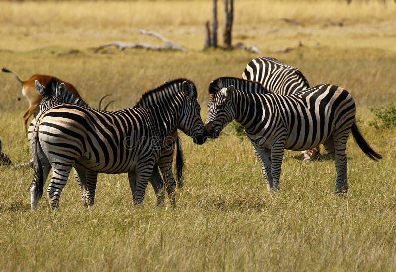 Με ραβδώσεις όμορφου Burchell στις αφρικανικές πεδιάδες στοκ φωτογραφία