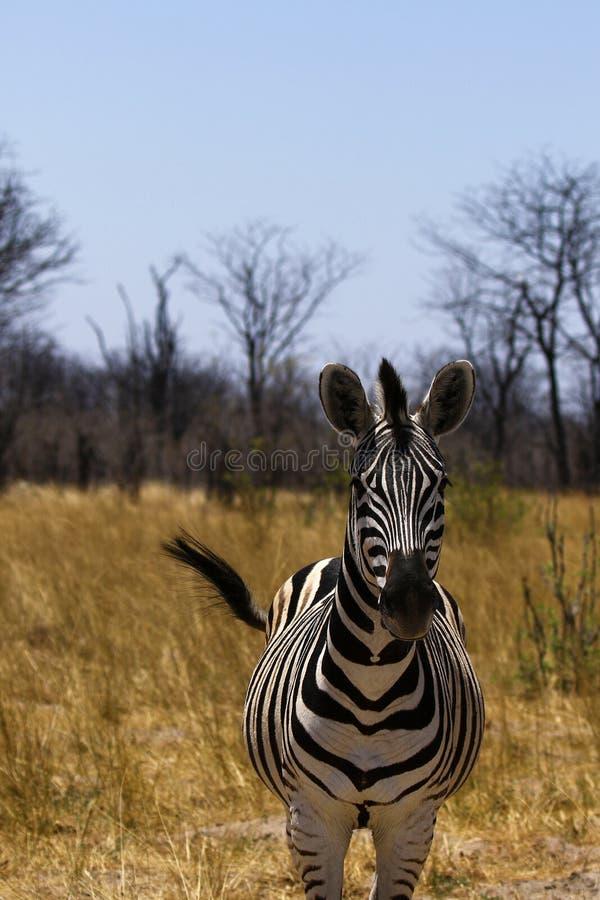 Με ραβδώσεις όμορφου Burchell στις αφρικανικές πεδιάδες στοκ εικόνες