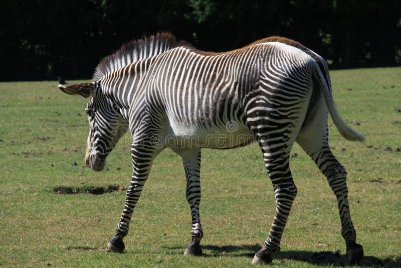 Με ραβδώσεις Grévy ` s στο ζωολογικό κήπο Marwell στοκ εικόνα με δικαίωμα ελεύθερης χρήσης