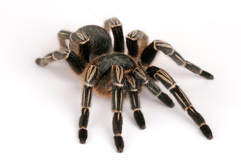 με ραβδώσεις tarantula στοκ φωτογραφία με δικαίωμα ελεύθερης χρήσης