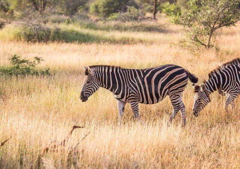 Με ραβδώσεις πεδιάδων στο εθνικό πάρκο Kruger στοκ φωτογραφία με δικαίωμα ελεύθερης χρήσης
