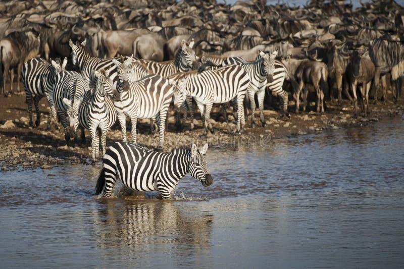Με ραβδώσεις στον ποταμό της Mara, Κένυα στοκ εικόνα με δικαίωμα ελεύθερης χρήσης