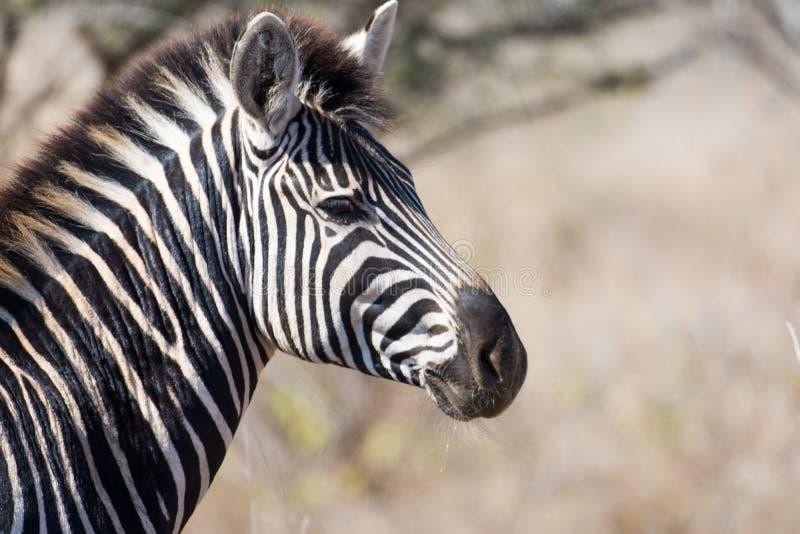 Με ραβδώσεις στο εθνικό πάρκο Kruger στοκ φωτογραφίες