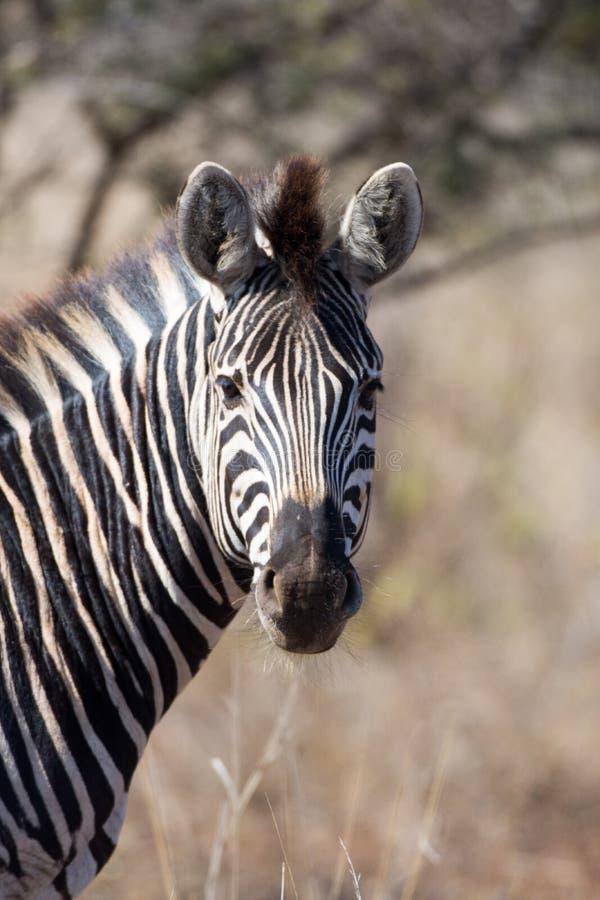 Με ραβδώσεις στο εθνικό πάρκο Kruger στοκ φωτογραφία με δικαίωμα ελεύθερης χρήσης