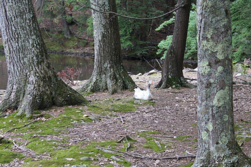 Με την προσοχή παπιών λιμνών στοκ φωτογραφία