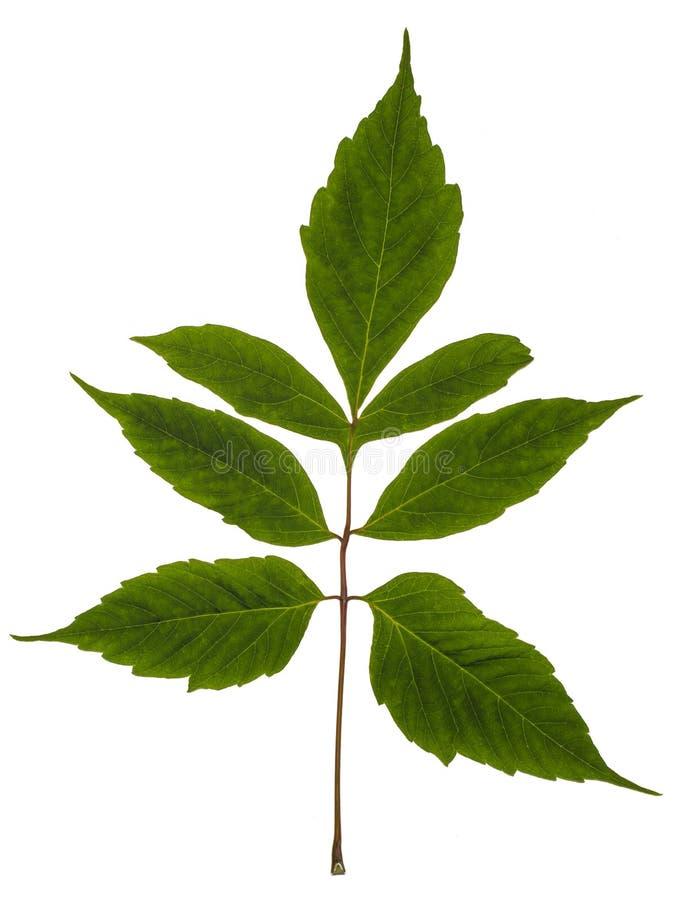 με φύλλα σφένδαμνος τέφρα&sigma Σφένδαμνος Αμερικανός στοκ φωτογραφία