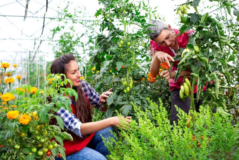 Μητέρα με την κόρη στον κήπο με τα σπορόφυτα ντοματών στοκ εικόνες
