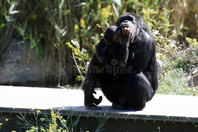 μητέρα χιμπατζών μωρών στοκ φωτογραφία με δικαίωμα ελεύθερης χρήσης