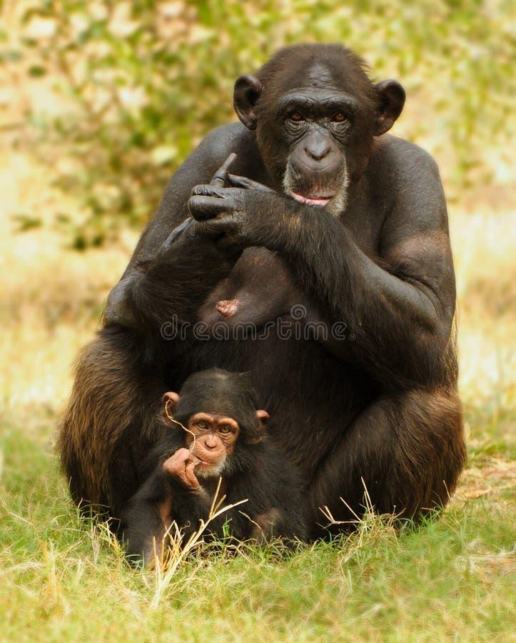 μητέρα χιμπατζών παιδιών στοκ εικόνα με δικαίωμα ελεύθερης χρήσης