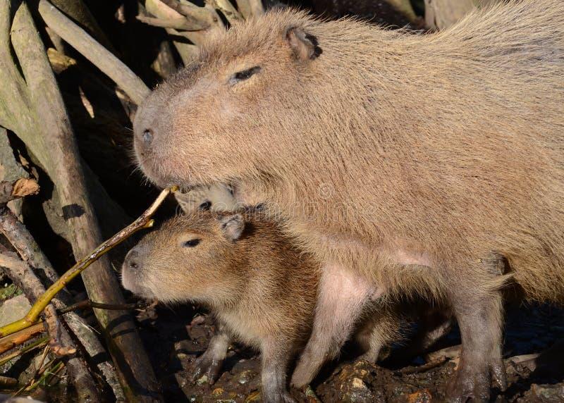 μητέρα capybara μωρών στοκ φωτογραφίες
