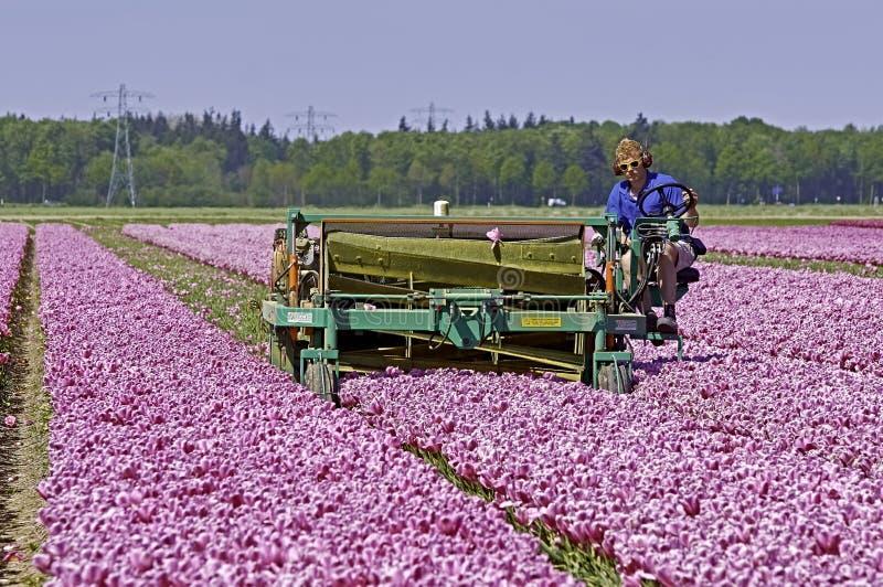 Μηχανικά ολοκληρώνοντας λουλούδια τουλιπών στοκ φωτογραφία με δικαίωμα ελεύθερης χρήσης