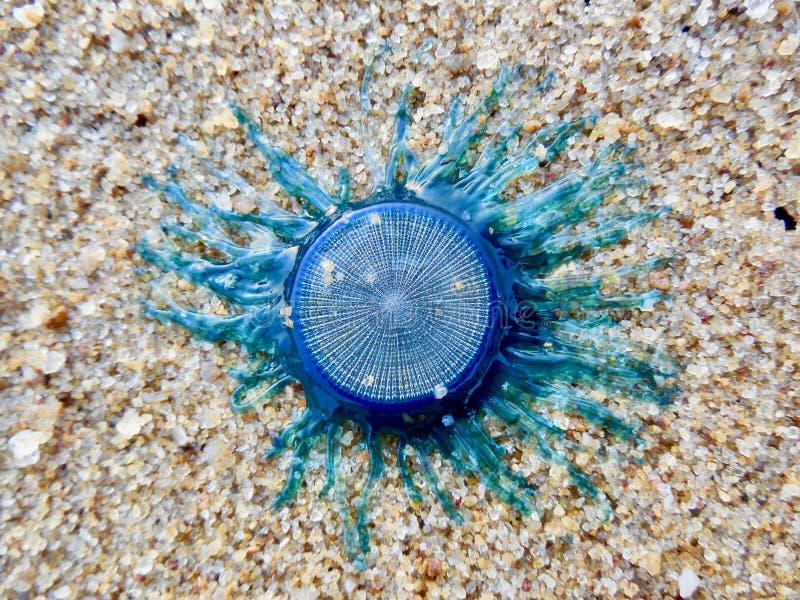 Μη αναγνωρισμένο μπλε πλάσμα στην αμμώδη παραλία στοκ εικόνα με δικαίωμα ελεύθερης χρήσης