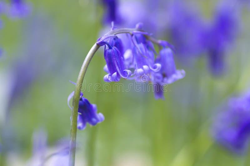 Μη-scripta Hyacinthoides ή bluebells στενός επάνω στοκ φωτογραφία με δικαίωμα ελεύθερης χρήσης
