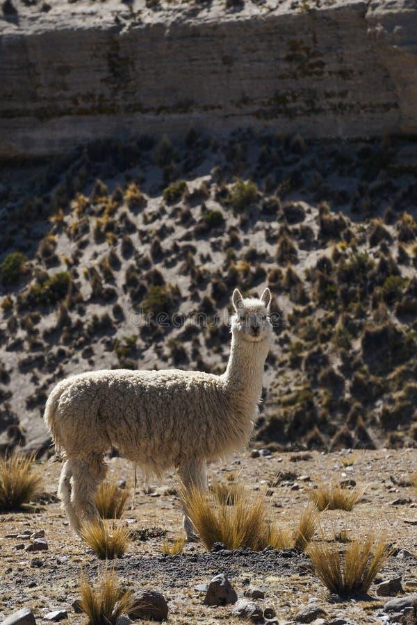 Μια άγρια προβατοκάμηλος σε μια ξηρά περιοχή κοντά σε Cusco, Περού στοκ εικόνες με δικαίωμα ελεύθερης χρήσης
