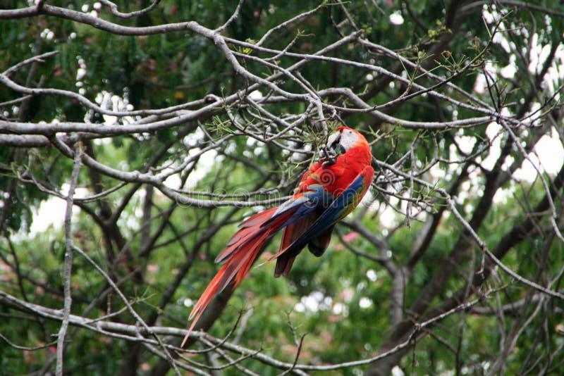Μια άγρια φύση macaw που αναρριχείται στο δέντρο στοκ εικόνα