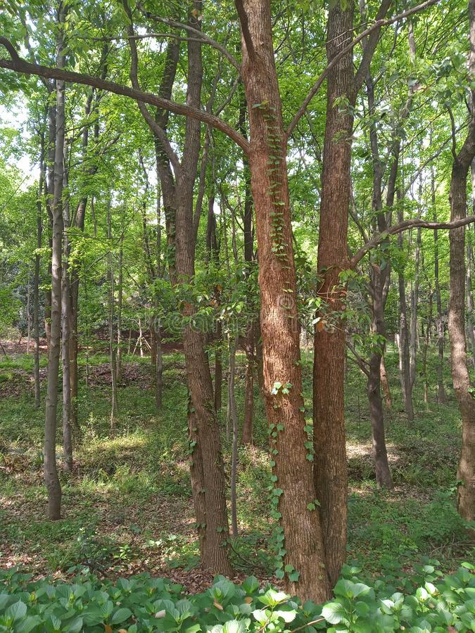 Μια άμπελος που αναρριχείται σε ένα δέντρο στοκ φωτογραφία με δικαίωμα ελεύθερης χρήσης