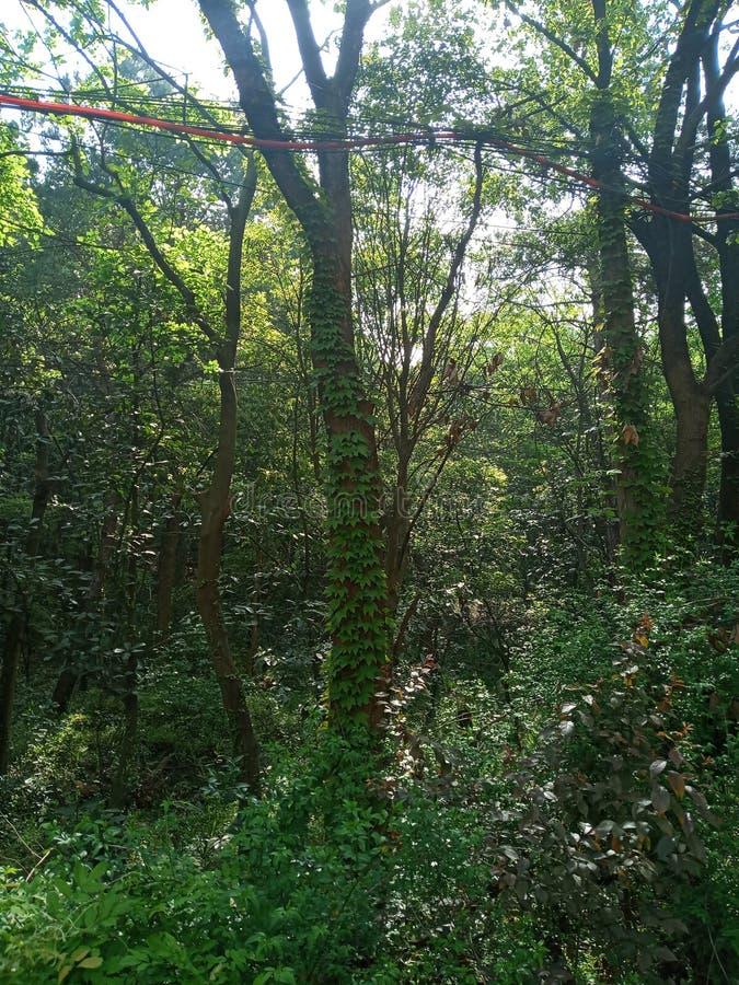 Μια άμπελος που αναρριχείται σε ένα δέντρο στοκ φωτογραφία