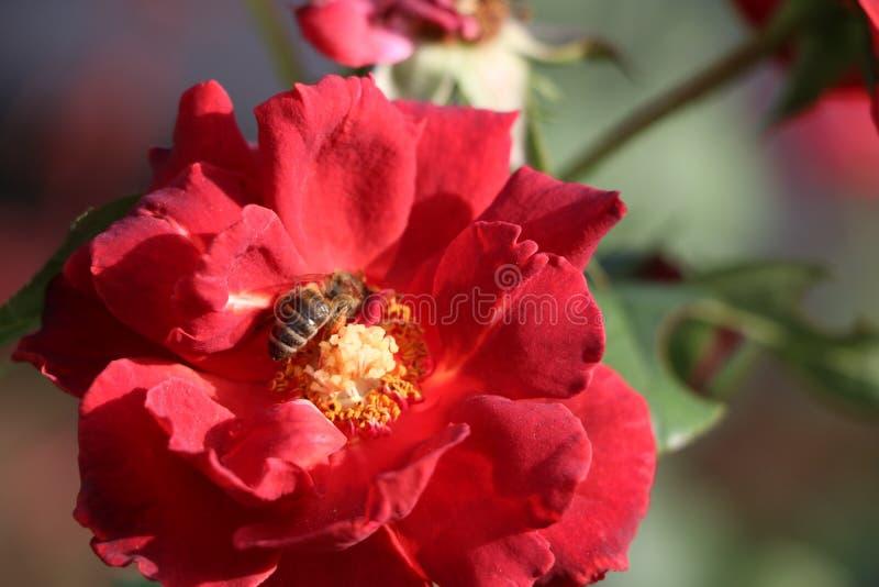 Μια άνθηση αυξήθηκε με μια μέλισσα στοκ φωτογραφία