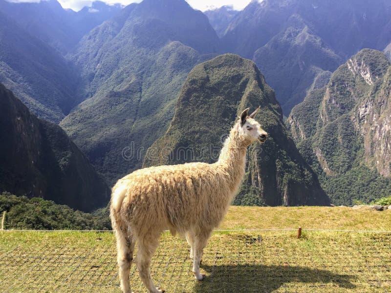 Μια άποψη κινηματογραφήσεων σε πρώτο πλάνο άσπρο llama που στέκεται σε Machu Picchu στοκ φωτογραφία με δικαίωμα ελεύθερης χρήσης