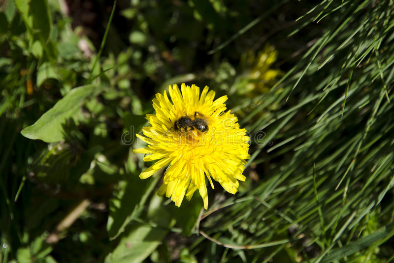Μια άποψη κινηματογραφήσεων σε πρώτο πλάνο μιας μέλισσας σε μια πικραλίδα που συλλέγει τη γύρη στοκ φωτογραφία