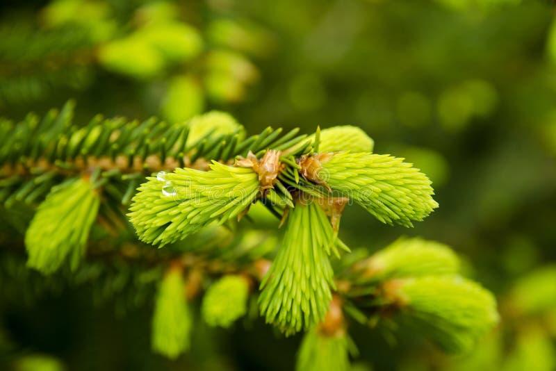 Μια άποψη κινηματογραφήσεων σε πρώτο πλάνο μιας νέας βελόνας σε ένα δέντρο με μια πτώση της δροσιάς μια θερινή ημέρα στοκ φωτογραφία