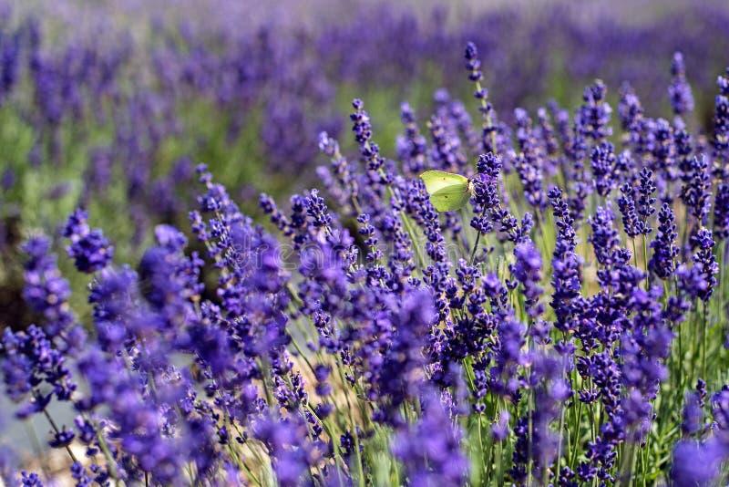 Μια άσπρη πεταλούδα lavender στοκ εικόνες