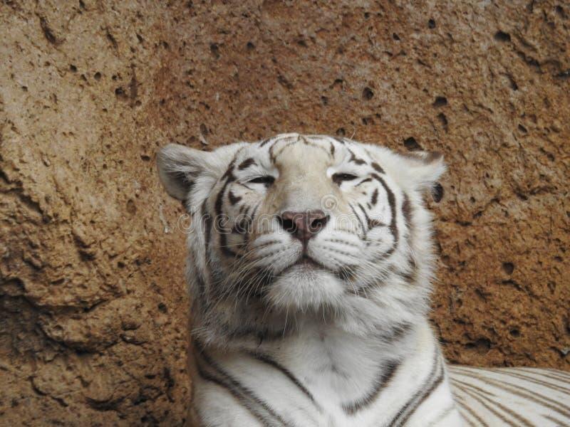 Μια άσπρη τίγρη της Βεγγάλης σε Loro Parque, Tenerife στοκ φωτογραφίες με δικαίωμα ελεύθερης χρήσης
