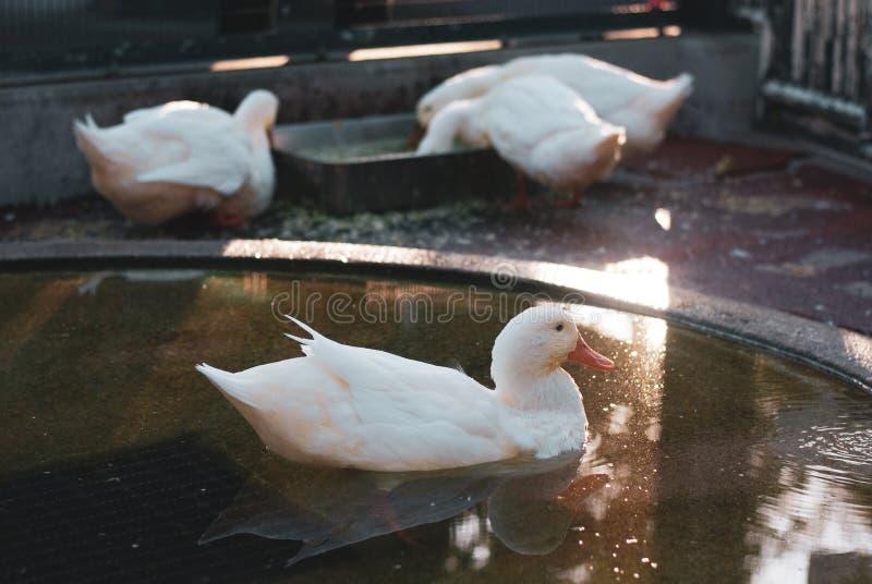 Μια άσπρη χαριτωμένη πάπια που κολυμπά ζωηρά στη μικρή λίμνη που ταΐζει κάτι κάτω από το φως του ήλιου, η πλάτη είναι άλλες πάπιε στοκ φωτογραφία με δικαίωμα ελεύθερης χρήσης