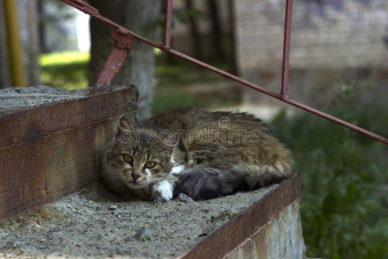 Μια άστεγη γκρίζα γάτα βρίσκεται στα βήματα στην είσοδο στην είσοδο του σπιτιού Χνουδωτή στήριξη κατοικίδιων ζώων στοκ φωτογραφία με δικαίωμα ελεύθερης χρήσης