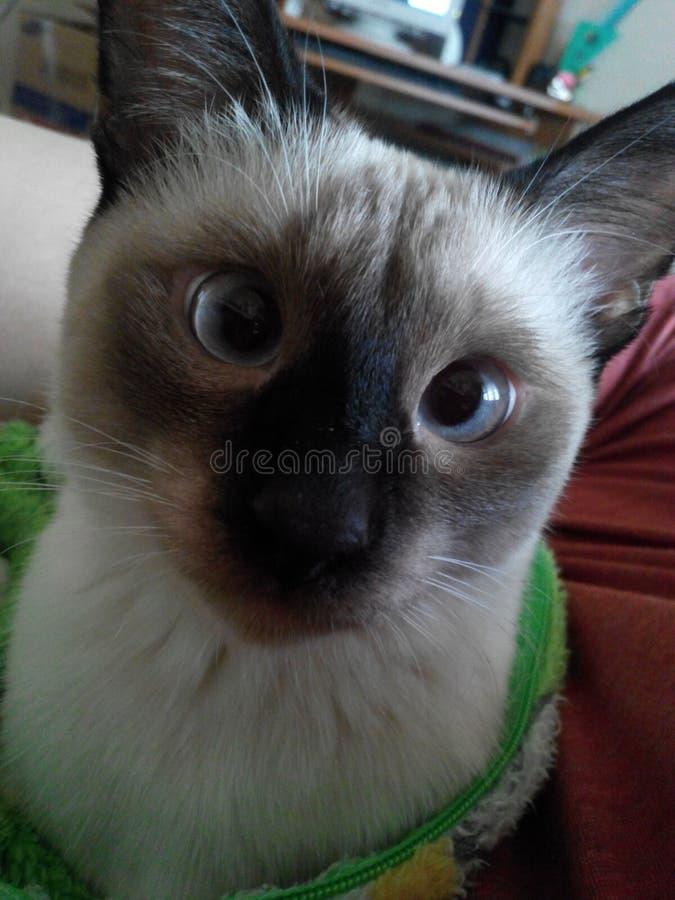 Μια έντονη θέα μιας ταϊλανδικής γάτας στοκ εικόνα με δικαίωμα ελεύθερης χρήσης