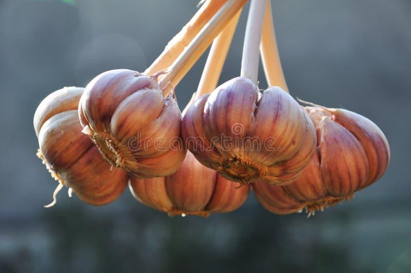 Μια δέσμη του ώριμου σκόρδου στοκ φωτογραφία με δικαίωμα ελεύθερης χρήσης