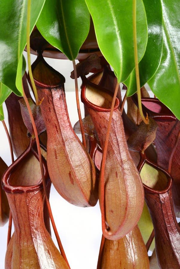 Μια δέσμη Nepenthes στοκ φωτογραφίες
