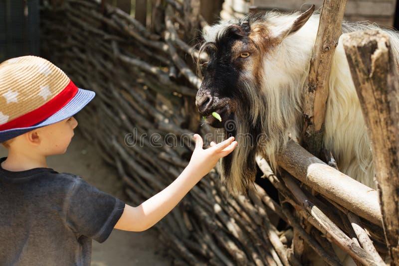 Μια αίγα εκδρομικών κατσαρολών που τρώει από το χέρι ενός νέου αγοριού στοκ φωτογραφία