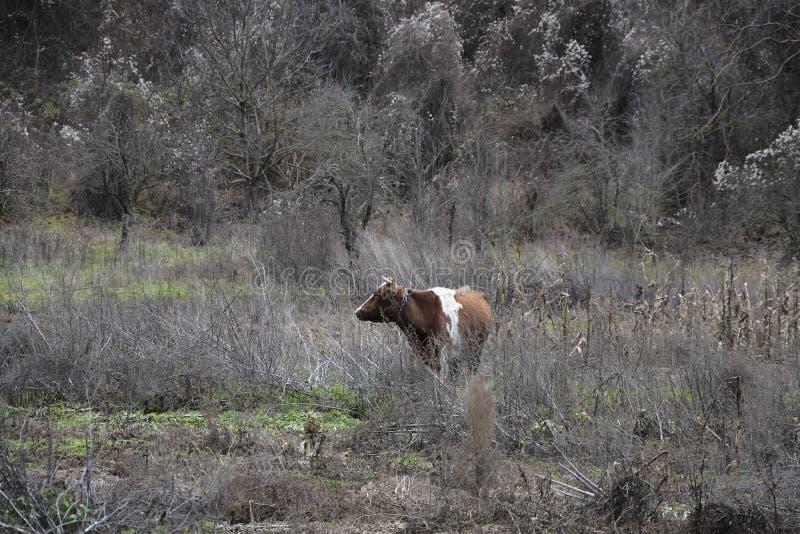 Μια αγελάδα σε έναν τομέα στοκ φωτογραφίες με δικαίωμα ελεύθερης χρήσης