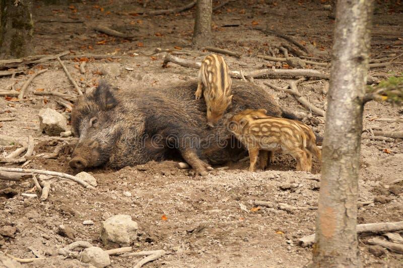 Μια αγριόχοιρος θηλάζει τα χοιρίδιά της στοκ εικόνες με δικαίωμα ελεύθερης χρήσης