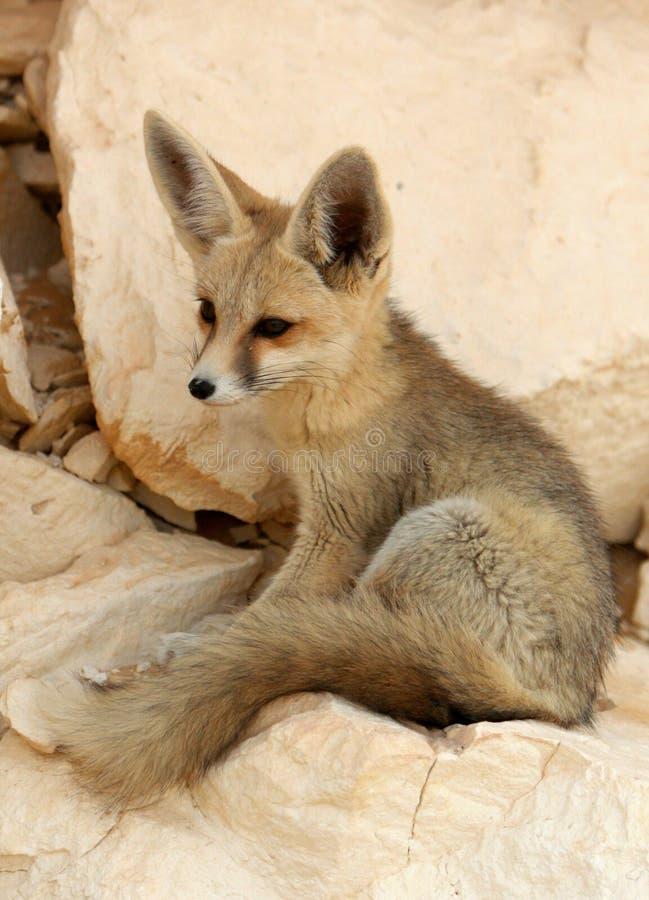 Μια αλεπού ερήμων στην άσπρη έρημο στοκ εικόνες
