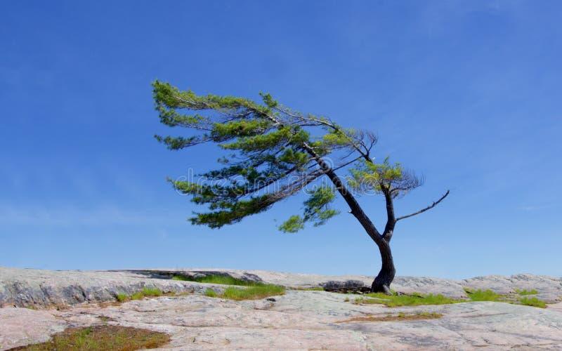 Μια ανάπτυξη δέντρων από έναν βράχο στοκ εικόνα με δικαίωμα ελεύθερης χρήσης