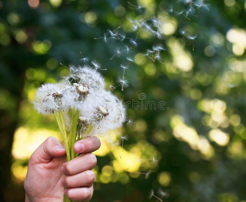 Μια ανθοδέσμη της άνοιξη πικραλίδων ανθίζει με τους άσπρους χνουδωτούς σπόρους ho στοκ εικόνες με δικαίωμα ελεύθερης χρήσης