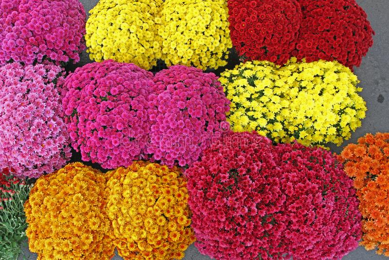 Μια ανθοδέσμη του όμορφου χρυσάνθεμου ανθίζει υπαίθρια Χρυσάνθεμα στον κήπο Ζωηρόχρωμο chrisanthemum λουλουδιών floral πρότυπο κα στοκ εικόνα με δικαίωμα ελεύθερης χρήσης