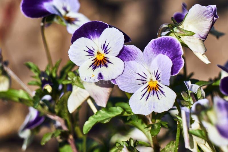 Μια ανθοδέσμη των ζωηρόχρωμων pansy λουλουδιών στοκ φωτογραφίες