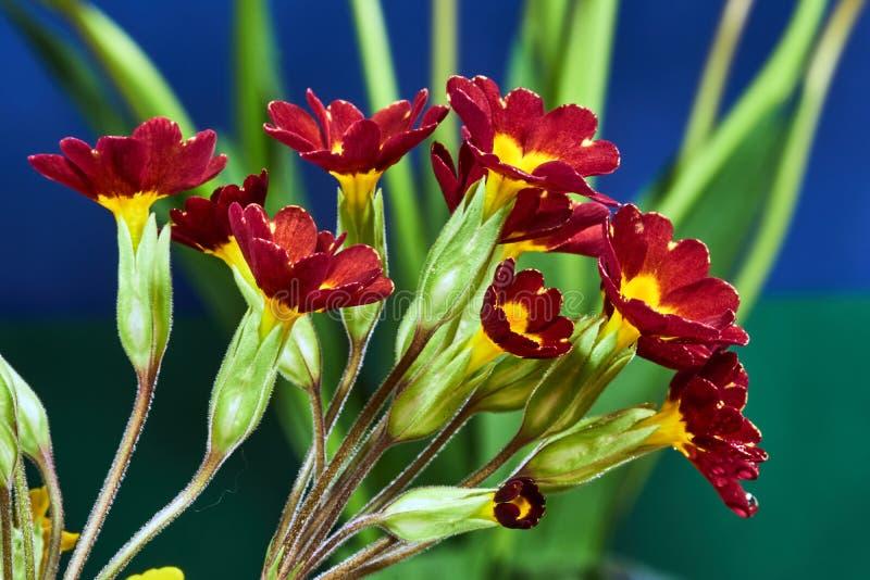 Μια ανθοδέσμη των κόκκινων λουλουδιών primrose στοκ εικόνες με δικαίωμα ελεύθερης χρήσης