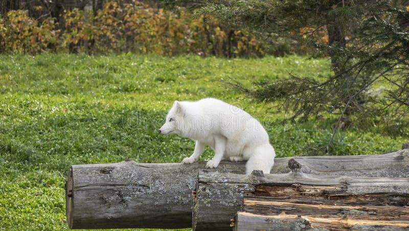 Μια απομονωμένη αρκτική αλεπού στα ξύλα στοκ εικόνα