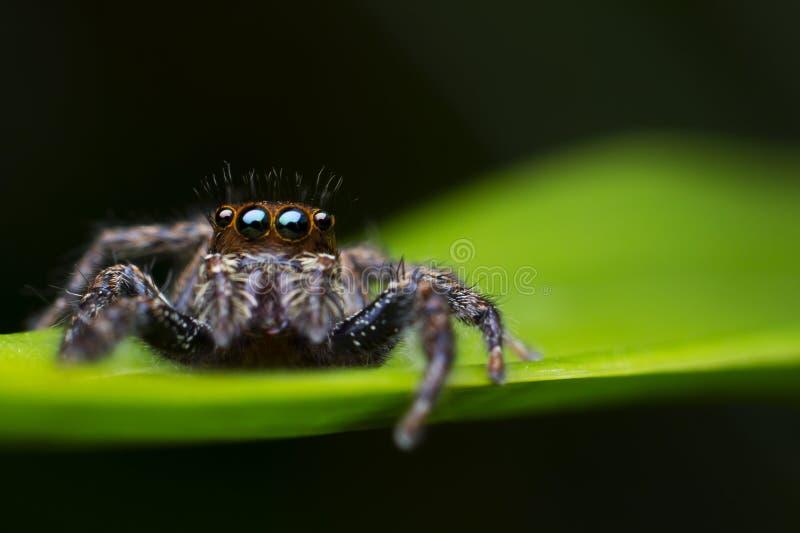 Μια αράχνη άλματος σε ένα φύλλο στοκ εικόνα