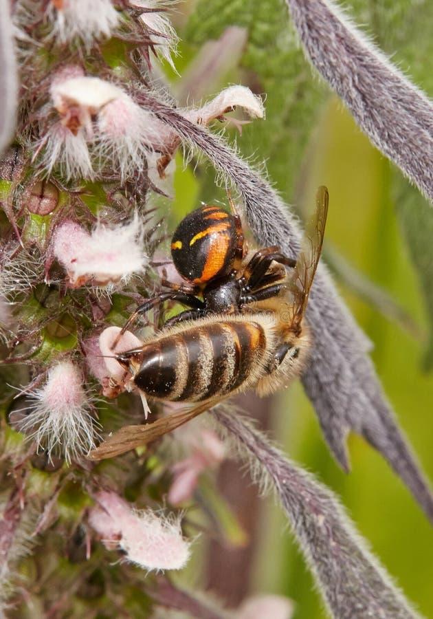 Μια αράχνη που κυνηγά μια μέλισσα στοκ εικόνες