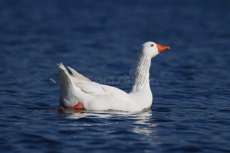 Μια αρκετά άσπρη χήνα που κολυμπά σε μια λίμνη στοκ εικόνα