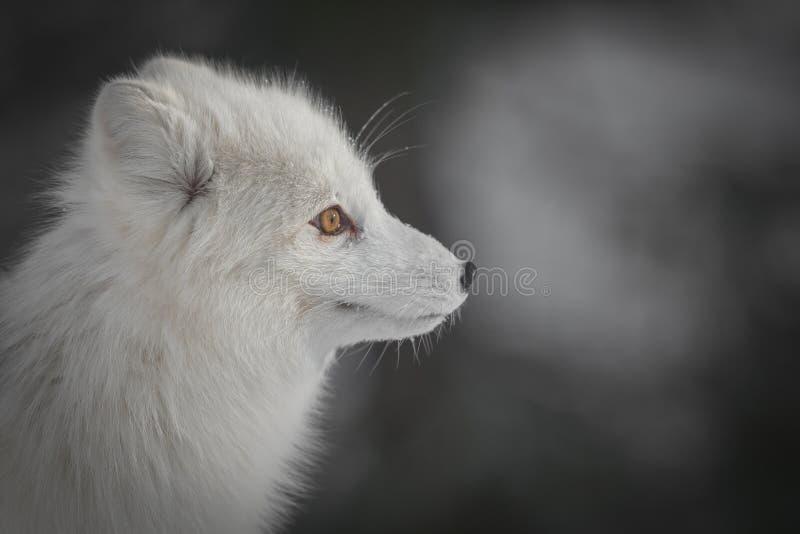 Μια αρκτική αλεπού το χειμώνα στοκ φωτογραφία με δικαίωμα ελεύθερης χρήσης